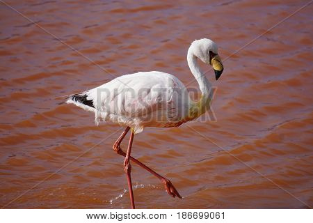 Close Up of a pink Flamingo in a lake with red water