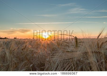 Wheat agriculture field of gold wheat field barley grain sunny
