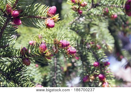 Christmas tree branch with needles and small cones in the summer.