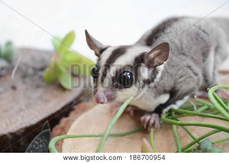 Cute funny sugar glider on decorative stub against light background, closeup
