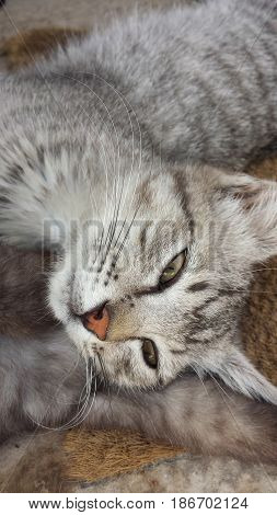 Close-up pic of a light gray cat stuck half asleep