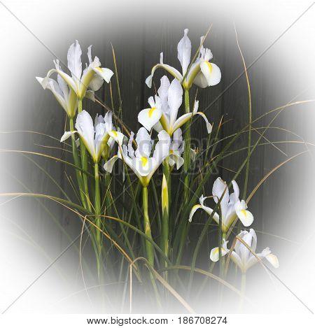 White  irises on a dark background after shower of rain.