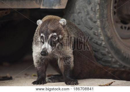 Male white nosed coati sits next to the tires of a vehicle