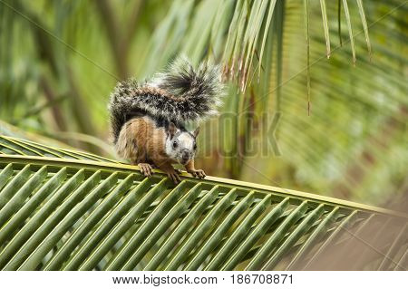 Variegated tree squirrel sits on a palm branch in the tropical rain forest