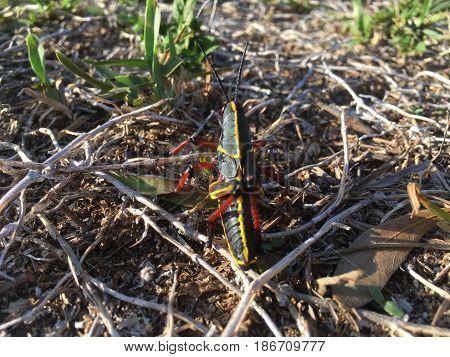 Black Grasshopper In The Swamp