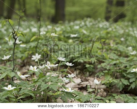 Forest anemone, white flower. Spring scenery with variable light. Saturated green on picking leaves. Low field of depth.