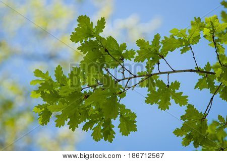 The young oak leaves against the blue sky.