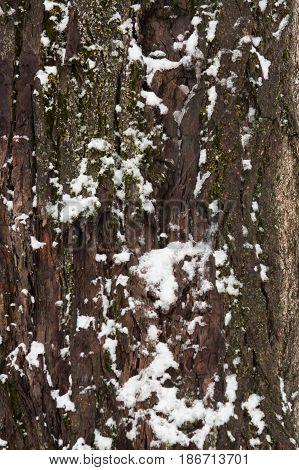 Bark tree trunk tree bark snow snowy snow covered winter