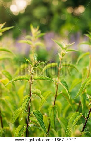 The Twigs Of Wild Plant Nettle Or Stinging Nettle Or Urtica Dioica In Summer Spring Meadow Field At Sunset Sunrise. Close Up.
