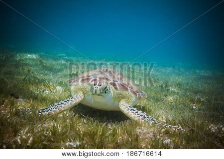 Sea turtle eating sea grass in harbor of St. John, Virgin Islands