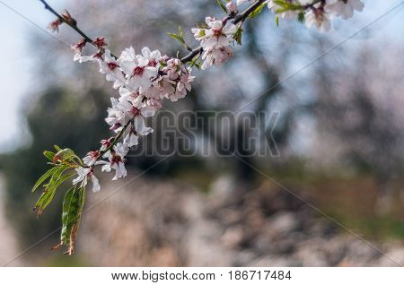 Branch with almond blossoms with defocused colored background