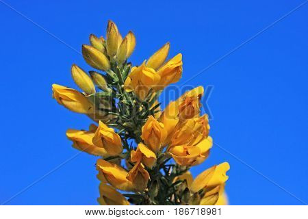 gorse bush in flower in the spring