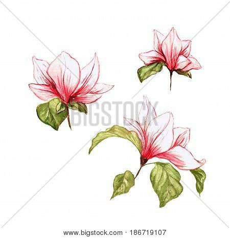 Magnolia isolated pink blossoming flowers on the white background. Summer handdrawn watercolor painted flower bloom