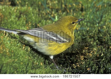 A male Pine Warbler, Setophaga pinus on green moss in the forest