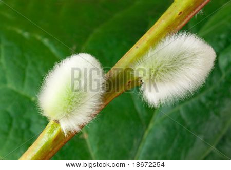 Spring pussywillow