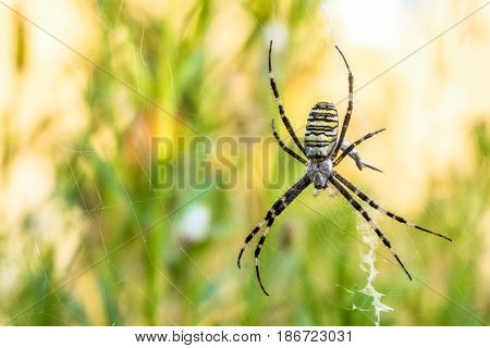 Argiope bruennichi spider in the web. Natural background with limited depth of field.