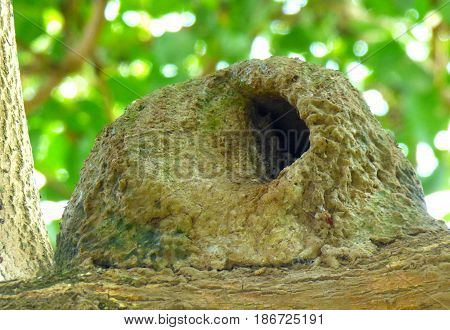 Hornero's mud-nest over a tree branch. This nature's architectonic-artwork belongs to a native South American bird. This nest is built mainly between April and June, begining with that task three or four months before it puts its eggs. The nest is built b