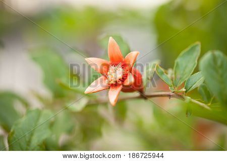 flower of pomegranate on nature select focus