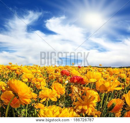 The blossoming fields of garden buttercups. The bright spring sun shining through the clouds. Concept of rural tourism and agrotourism