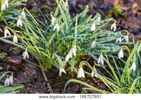 Bushes Of White Snowdrop Flowers On Wet Earth