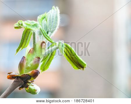 Bud Of Horse Chestnut Tree Close Up In Spring