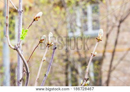 Branches Of Horse Chestnut Tree In Spring