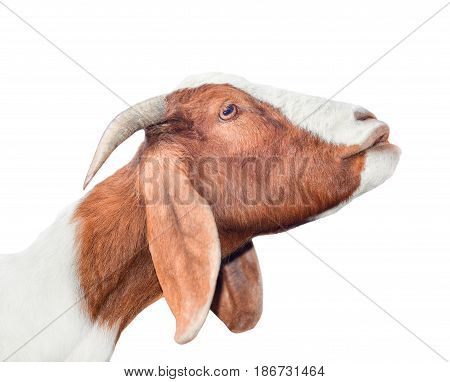 Beautiful, cute, young white and red goat isolated on white background. Farm animals. Funny goat try to kiss someone. Spotted goat on farm isolated on white
