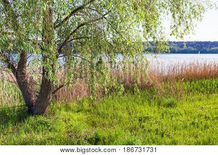 Canebrake And Willow Tree On Shore Of Ponds