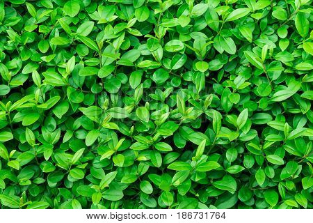 Green foliage background leaf texture bush bright vibrant colors seamless backdrop template summer spring closeup