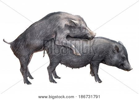 Two young vietnamese potbelly pigs mating. Mating vietnamese pigs isolated on white background. Farm animals. Domesticated pigs.