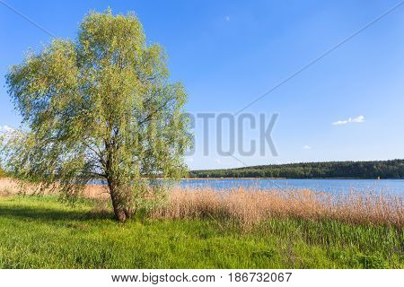 Willow Tree On Green Shore Of Ponds
