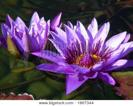 Purple Lilly Pad