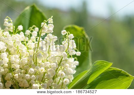 Blossoming lily of the valley on blurred background. Lily-of-the-valley. Convallaria majalis. Spring background. Floral background. Selective focus.