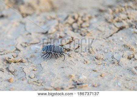Hemilepistus reaumuri collects sticks in the Negev desert (Israel)