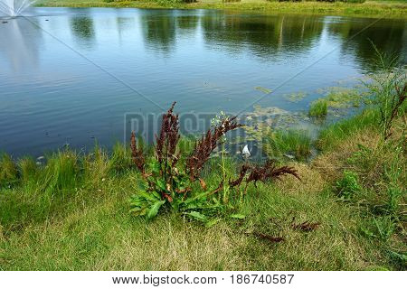 Curly dock (Rumex crispus), also called curled dock and yellow dock, grows next to a small lake in Joliet, Illinois during August.