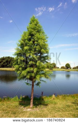 A Japanese cedar tree (Cryptomeria japonica) stands next to a small, man-made lake in Joliet, Illinois during August.