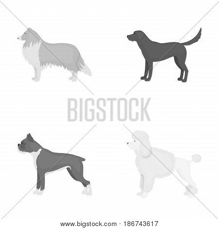 Collie, labrador, boxer, poodle. Dog breeds set collection icons in monochrome style vector symbol stock illustration .