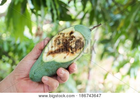 Farmer holding a rotten mango with wormholes caused by pest insect (Drosophila Melanogaster)