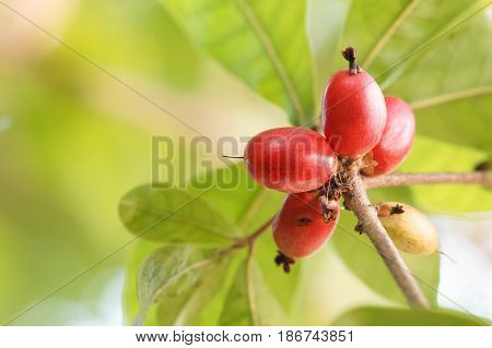 Miracle fruit; Miracle berry (Synsepalum dulcificum) on the tree