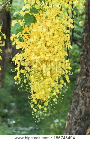 Golden Shower Tree / Cassia fistula for background