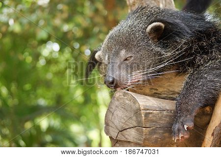 Bearcat sleeping on a tree / Binturong / Arctictis Binturong