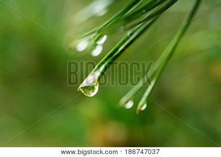 Abstract background from conifer evergreen pine tree branches with dew water drops, natural outdoor concept