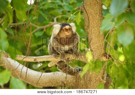 A Common Marmoset sitting on the tree