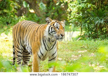 A fully grown Bengal Tiger in the zoo