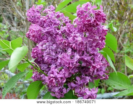 A close up of a Lilac breaking into bloom.