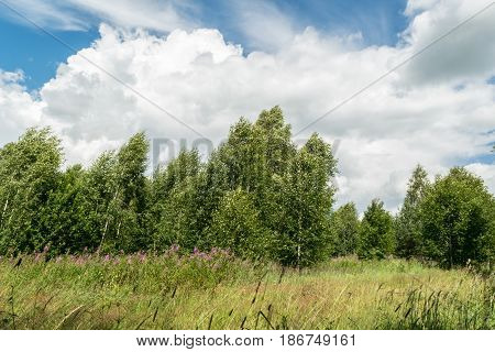 Meadow with grass and flowers. In the background is a forest with trees. A strong wind blows. The tops of the trees bent. Blue sky with white Cumulus clouds.