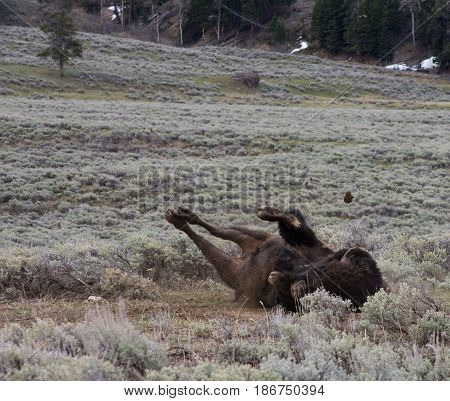 Large, shaggy buffalo rolling in dirt with legs and clump of mud in the air amidst sagebrush to help shed his winter coat. Photographed in natural light in Lamar Valley, Yellowstone National Park.