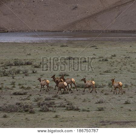 Elk herd going to the Yellowstone River in Yellowstone National Park across a grassy valley with sagebrush. Photographed in natural light. Elk are shedding their shaggy winter coats.