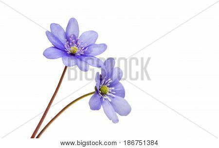 Hepatica Nobilis wildflower isolated on white background