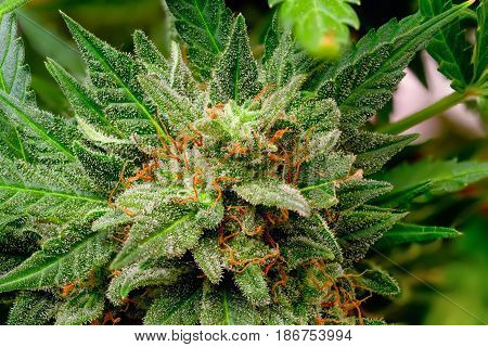 Macro photos of marijuana cones with leaves covered with trichomes. The cannabis plant clse view.